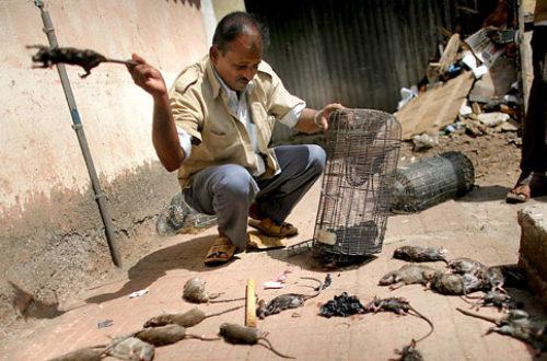 Article : Bombay et ses masala rats